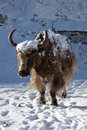 Himalayan yak going for warm sunlight, Nepal Royalty Free Stock Photography