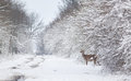 Hind on snow afraid walking in forest Stock Photo