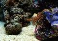 Hinge beak shrimp durban dancing on a sea on aquarium Stock Photo