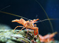 Hingebeak shrimp a in aquarium Stock Photography