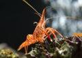 Hingebeak shrimp a in aquarium Royalty Free Stock Photos