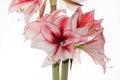 Hippeastrum Amaryllis Charisma, Dutch hybride, white-pink flower Royalty Free Stock Photo