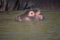 Hippo baby in south africa st lucia Royalty Free Stock Photo