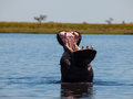 Hippo in chobe river with wide open mouth Royalty Free Stock Image