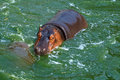 Hippo the close up of a in water Royalty Free Stock Photo