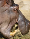 Hippo eating grass Royalty Free Stock Photo