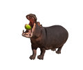 Hippo eating watermelon isolated with open mouth Royalty Free Stock Photography