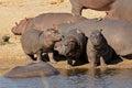 Hippo family hippopotamus amphibius outside the water south africa Royalty Free Stock Photos
