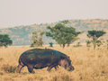 Hippo and friend bird in the serengeti Royalty Free Stock Image