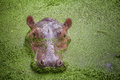 Hippo in the green water Royalty Free Stock Photography