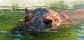 Hippo head close up of a large under the water Stock Photos