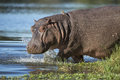 Hippo hippopotamus amphibius south africa walking into water with ox peckers on his back Stock Photography