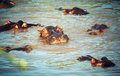 Hippo, hippopotamus group in river. Serengeti, Tanzania, Africa Royalty Free Stock Photo