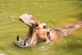 Hippo hippopotamus open its mouth in water Stock Photography