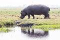 Hippo on island in Chobe River Royalty Free Stock Photo