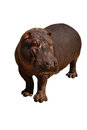 Hippo isolated big on white Royalty Free Stock Photos