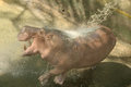 Hippo joyfully play with water shower in hot summer day Stock Photos