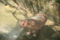 Hippo joyfully play with water shower in hot summer day Stock Photography