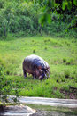 Hippo is a large mostly herbivorous mammal in sub saharan africa Stock Photography