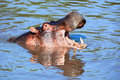 Hippo with mouth open in river. Serengeti, Tanzania, Africa Stock Photo