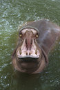 Hippo open mouth Royalty Free Stock Photo