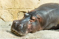 Hippo resting close up picture of an amphibius Royalty Free Stock Photos