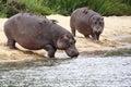 Hippo's Royalty Free Stock Photo
