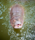 Hippo smile looking up open his mouth begging for food seems like he s smiling Stock Photos