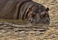 Hippo stare down Royalty Free Stock Photo