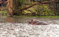 Hippo swimming in a lake in the natural park of kenya on a sunny day Stock Photo