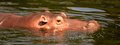 Hippo swimming under the water Stock Photo