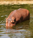 Hippo swimming under the water Stock Image