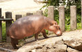 Hippo walk Stock Photos