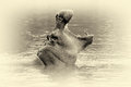 Hippo (Hippopotamus amphibius) in the water. Vintage effect Royalty Free Stock Photo