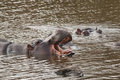 Hippo yawn wild yawning in limpopo river Royalty Free Stock Photography