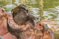 Hippo yawn yawning in a river in south africa Stock Photography