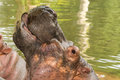 Hippo yawn yawning in a river in south africa Stock Images