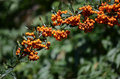 Hippophae detail of berries inthe autumn Royalty Free Stock Images