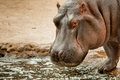 Hippopotame par la piscine Photo libre de droits