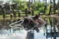 Hippopotamus In Busch Gardens ...