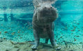 Hippopotamus in Busch Gardens Tampa Bay. Florida. Royalty Free Stock Photo