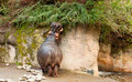 A hippopotamus eating his lunch Royalty Free Stock Photo