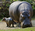 Hippopotamus female with her kid latin name amphibius Stock Photos
