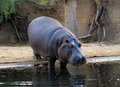 Hippopotamus going down in a water zoo Royalty Free Stock Photo