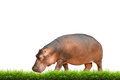 Hippopotamus with green grass isolated on white background Royalty Free Stock Photography