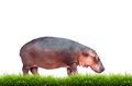 Hippopotamus with green grass isolated on white background Stock Photos