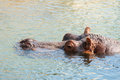 A hippopotamus hippo resting in the water Royalty Free Stock Image