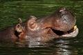 Hippopotamus (Hippopotamus amphibius) Stock Image