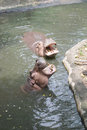 Hippopotamus at khaokaew zoo chanburi thailand Stock Image