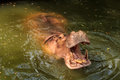 Hippopotamus open its mouth in pond at zoo to receive food the Stock Image